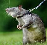 gambian-pouch-rat-tikus-afrika-300x