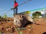 gambian-pouch-rat-tikus-afrika-pend