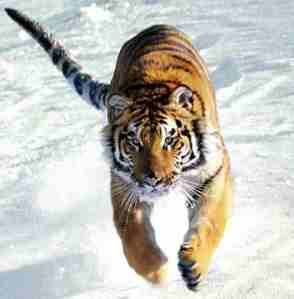 Tiger_running_in_snow
